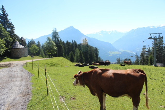 A cow in the Pitztal Alps